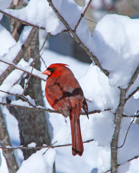 male cardinal in the snow.jpg