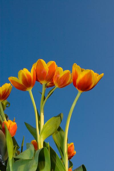 Tulips outdoor_23.jpg