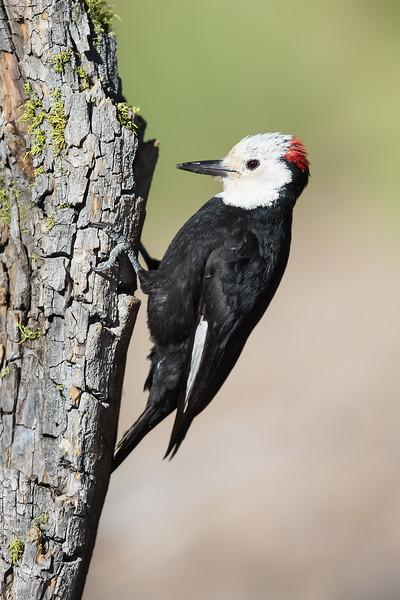 White-headed Woodpecker - Male - OR, USA