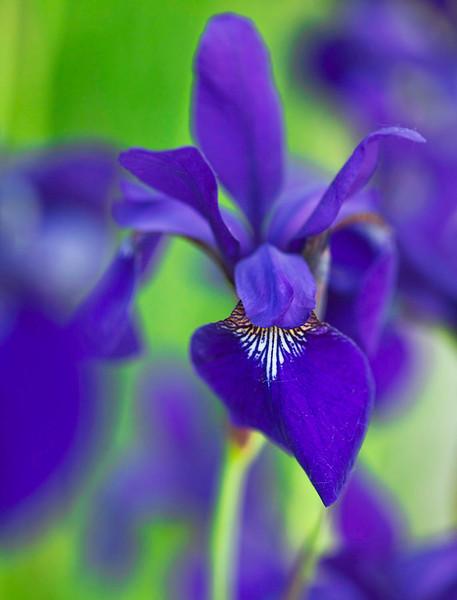Purple Iris 7666