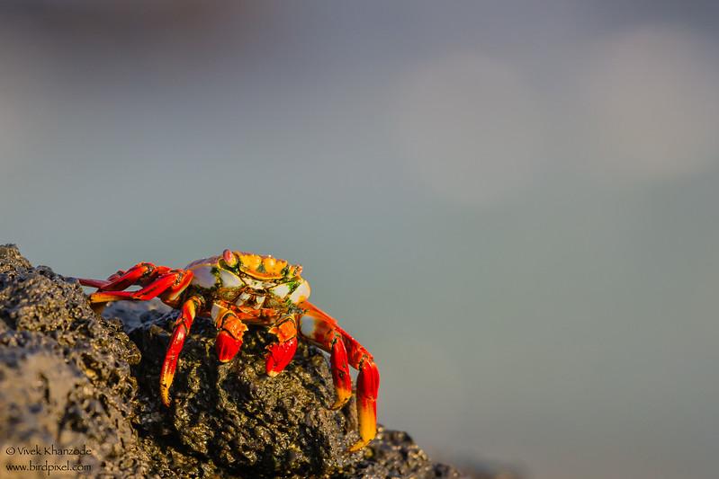 Sally Lightfoot Crab - Isla Santa Cruz, Galapagos, Ecuador