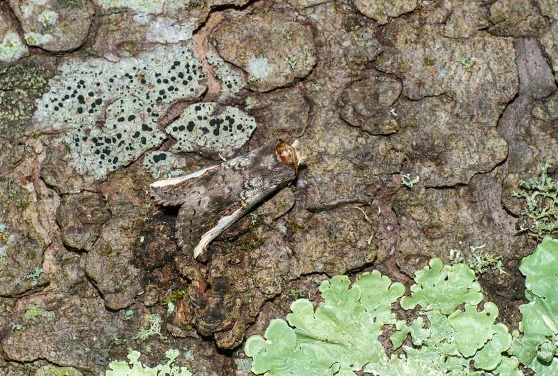 Symmerista leucitys Orange-humped Oakworm 93-0129 7953 Family Notodontidae Skogstjarna Carlton County MN IMG_3259.jpg