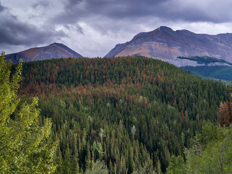Pine forest with mountains in the background, Yellowhead Highway, Jasper National Park, Jasper, Alberta, Canada