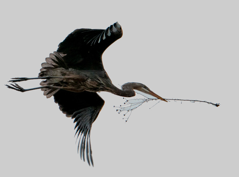 heron twig (1 of 1).jpg
