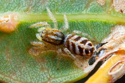 genus Afraflacilla