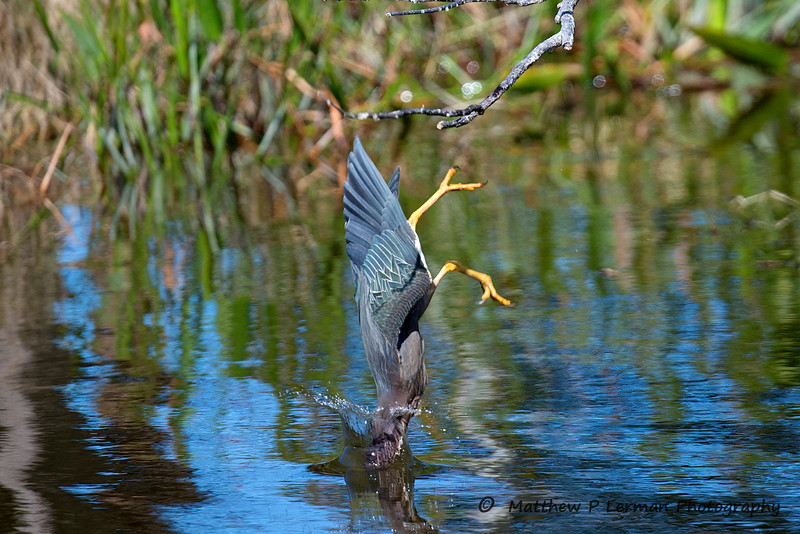 Green Heron diving