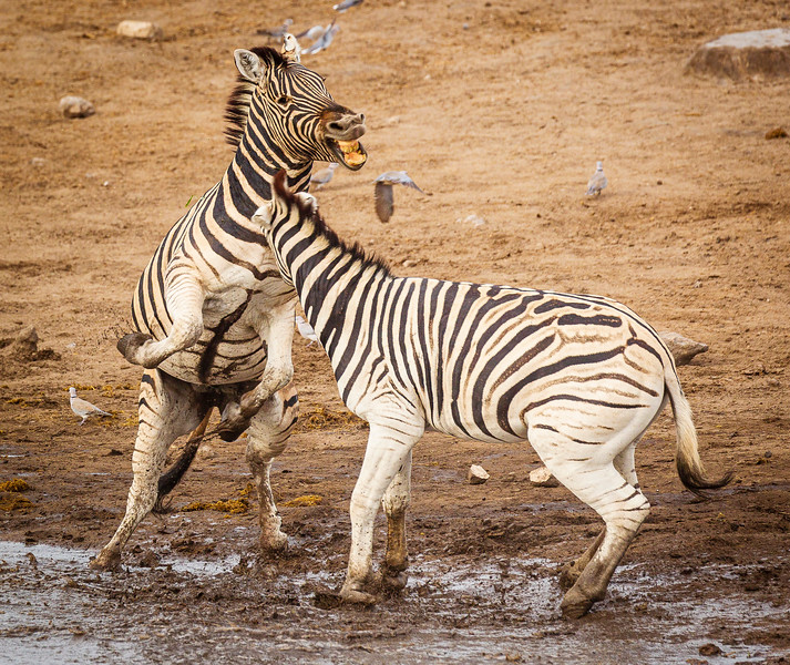 Jousting zebra 3
