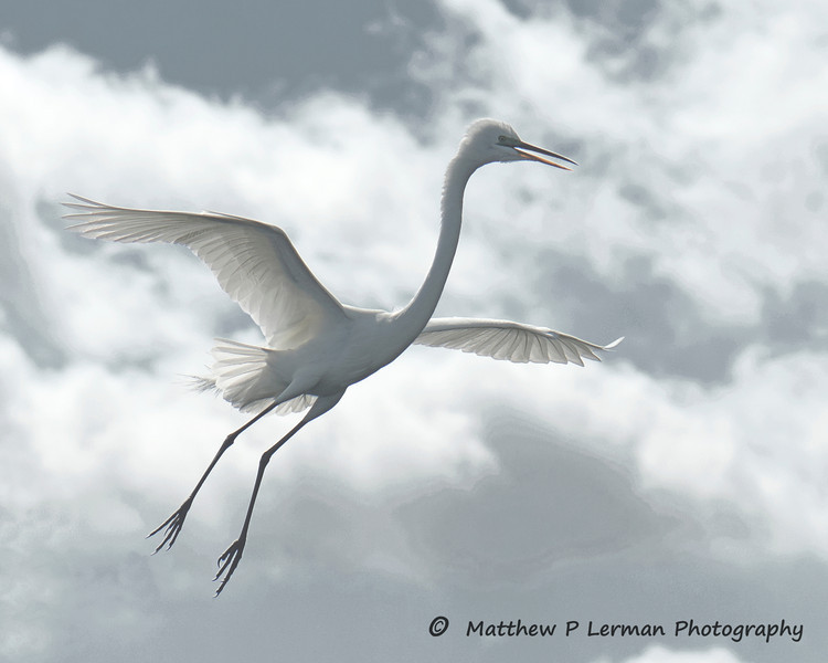 567 Great White Egret LR.jpg