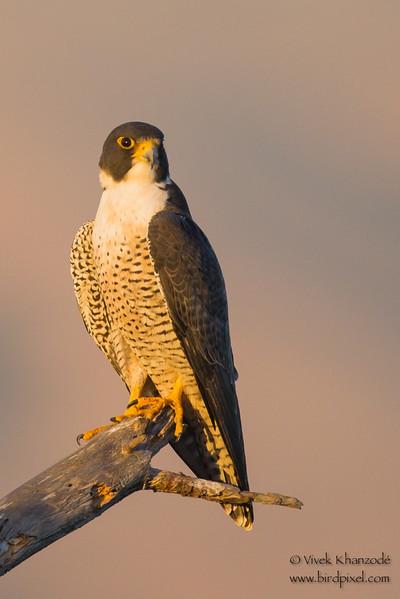 Peregrine Falcon - Coyote Hills Regional Park, Fremont, CA, USA
