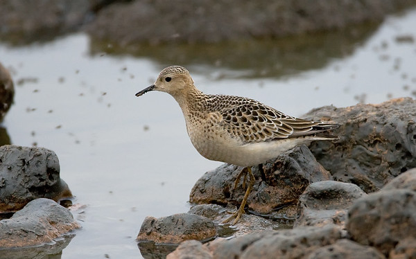 Buffbreasted Sandpiper