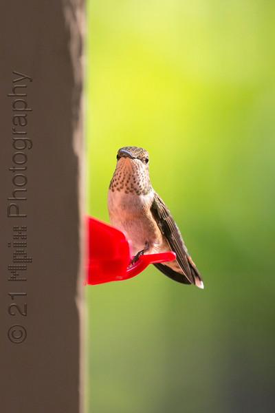Hummingbird-5787.JPG