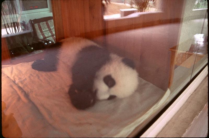 baby Panda in incubator