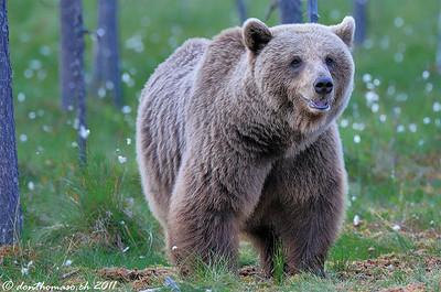 Wild Bears Finnland 2011