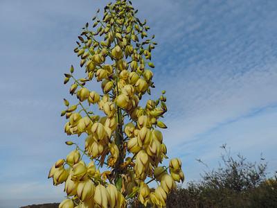 Chaparral Yucca (Hesperoyucca whipplei )