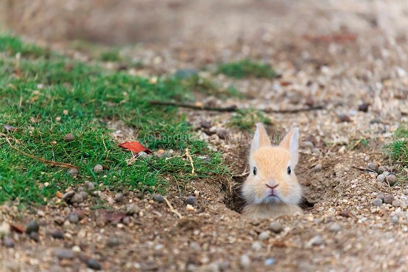 アナウサギの仲間_広島県.jpg