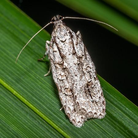 Izatha attactella - Lichen tuft moth