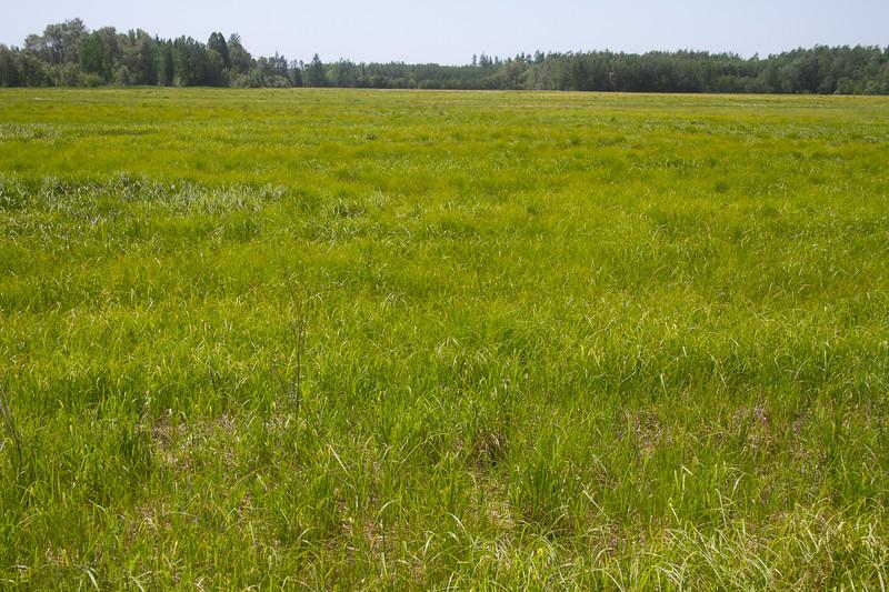 habitat for Sedge Wren LeConte's Sparrow Sax-Zim Bog MN  IMG_0234.jpg