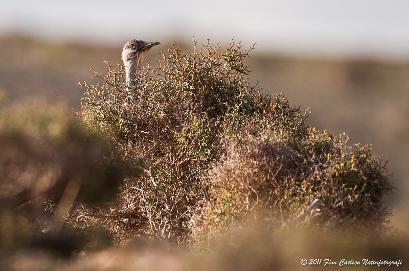 Kravetrappe - Chlamydotis undulata fuertaventurae - Canarian houbara bustard