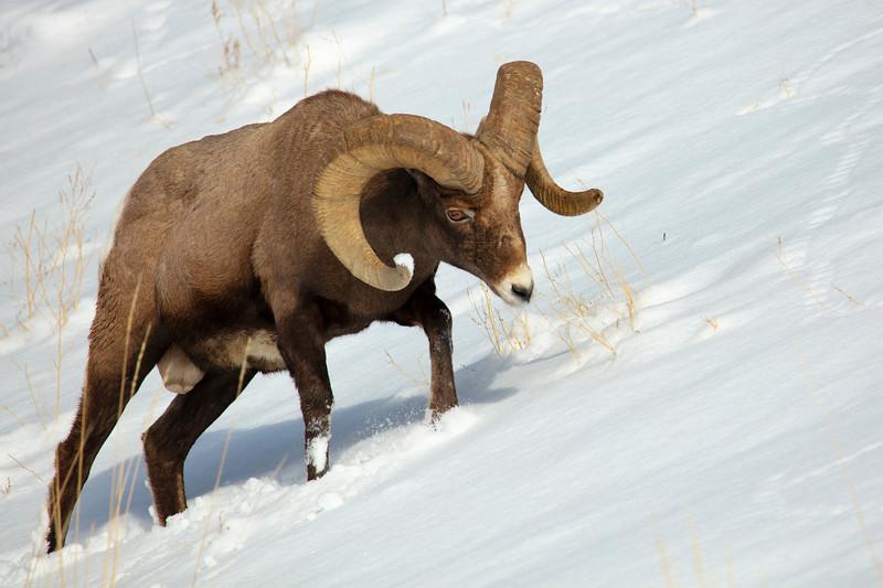 387A9313 Rocky Mtn Bighorn Sheep.jpg