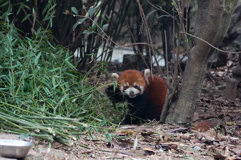 Red_Panda_Eating_Chengdu_Sichuan_China.jpg