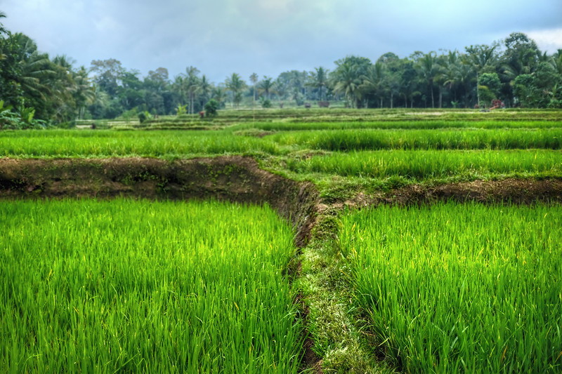 Rice fields at Licin