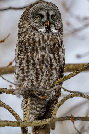 4-11-18 Great Gray Owl - Always Watching