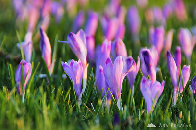 Velika planina and crocuses - Apr 21, 2011
