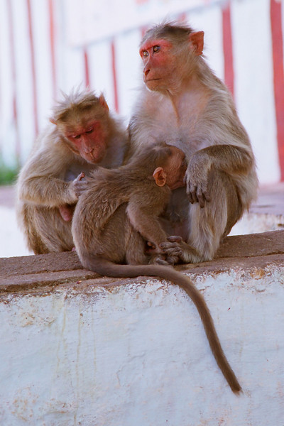 Monkey family at the Yantrodharaka temple by the banks of the Tungabhadra river.