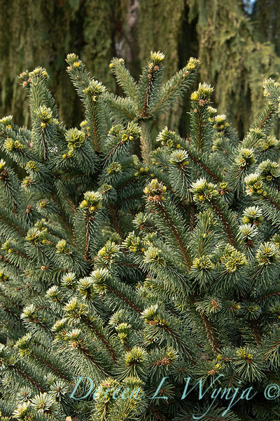 Picea pungens 'Mrs. Cesarini' blue spruce_0600.jpg