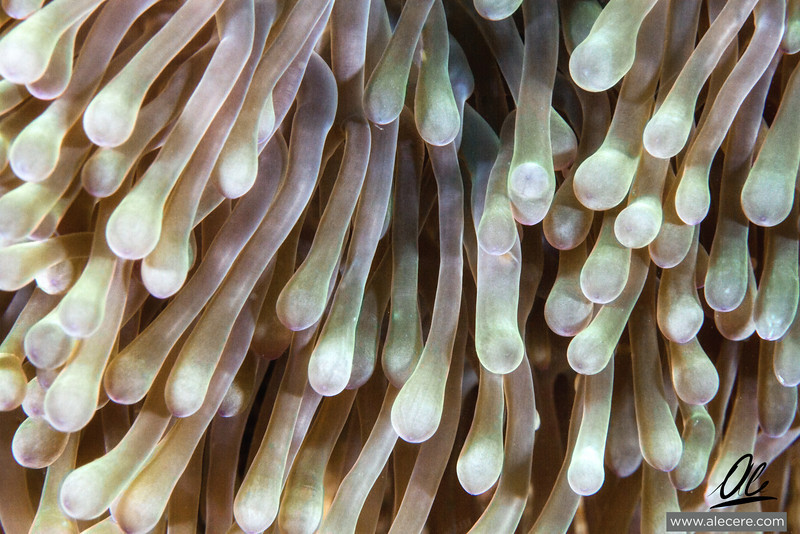 Into the Anemone