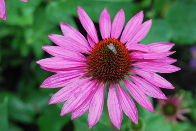 Echinacea purpurea 'The King' close-up