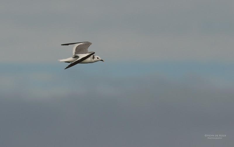Sabine's Gull, Cape Town Pelagic, WC, SA, Jan 2014.jpg