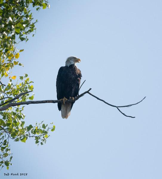 Bald Eagle at Lake Pepin