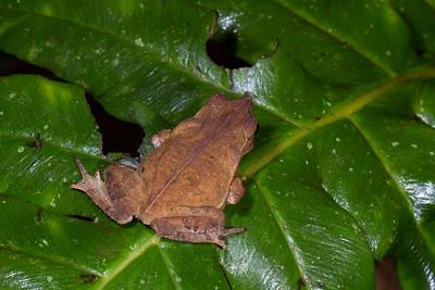 Toads - Ecuador