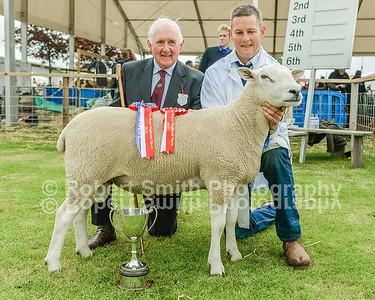 Lleyn Sheep @Royal Highland Show 2015
