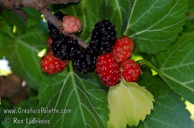 Black Beauty Fruiting Mulberry - Morus nigra sp.