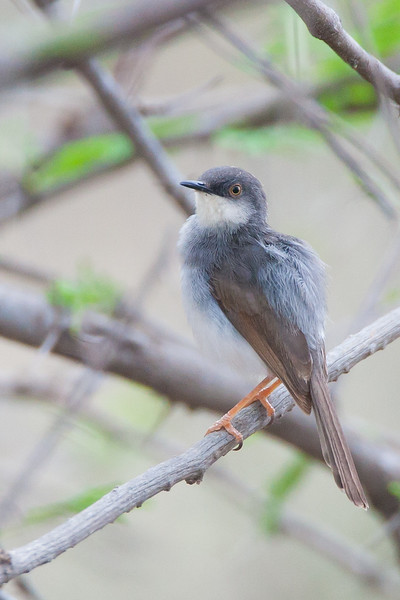 Grey-breasted Prinia - Kutch, Gujrat, India