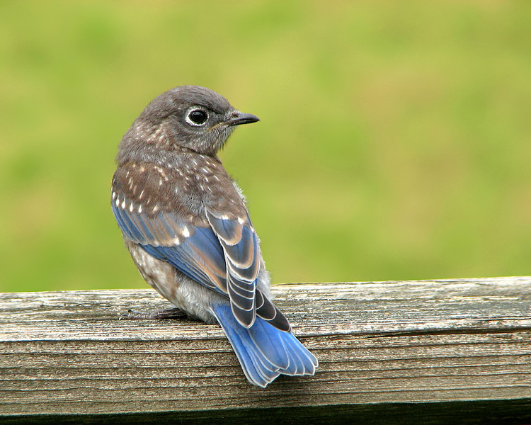 bluebird_fledgling_9683.jpg