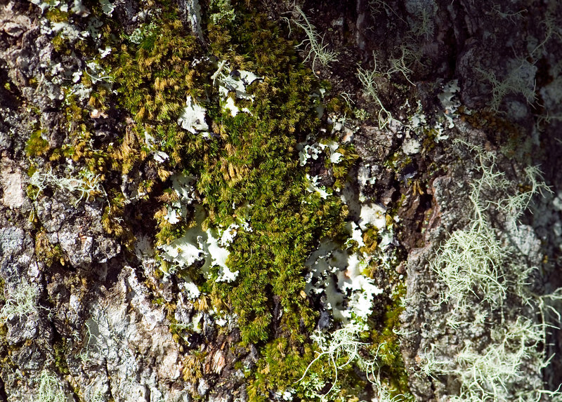 Moss and lichen growing on a tree in Volcanoes National Park