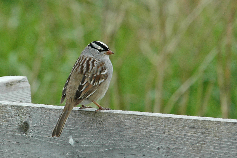 Sparrow - White-crowned - Machais Seal Island - ME