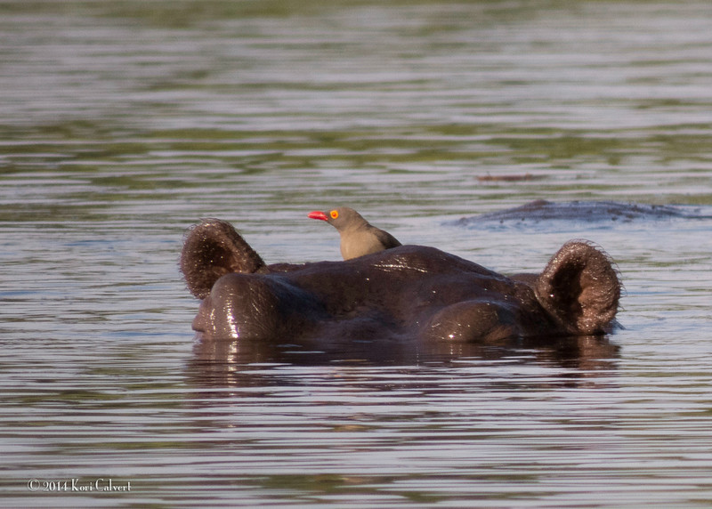 Hippos K-1.jpg