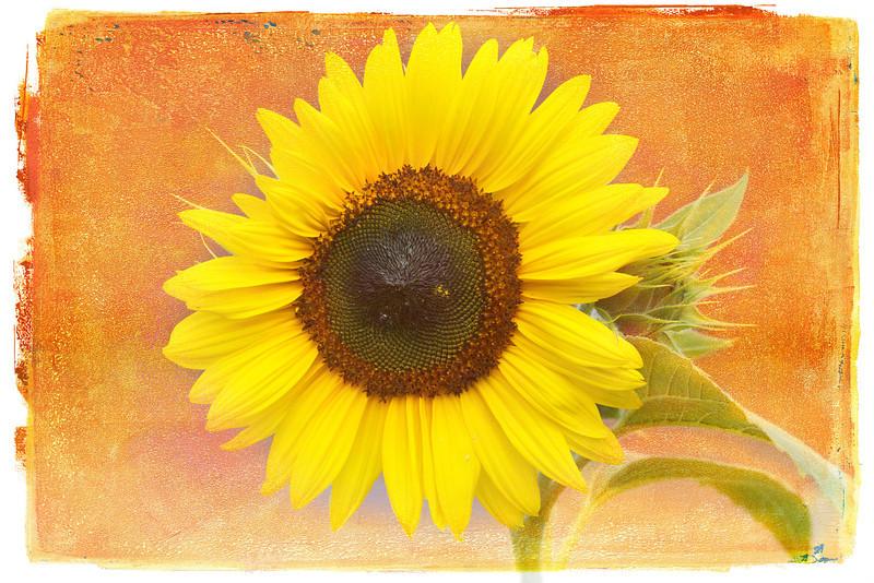 Sunflower, Turner, Maine, August 28, 2012