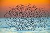 shorebirds : shorebirds,beachbirds,