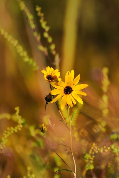 Narrow leaf sunflowers