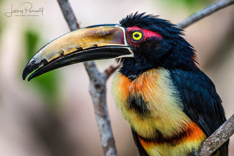 Aracari Toucan - Head Shot