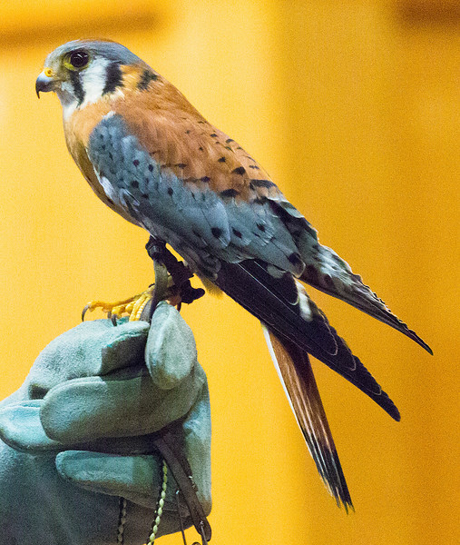 A Kestrel (or Sparrow Hawk) in the Discovery Center.
