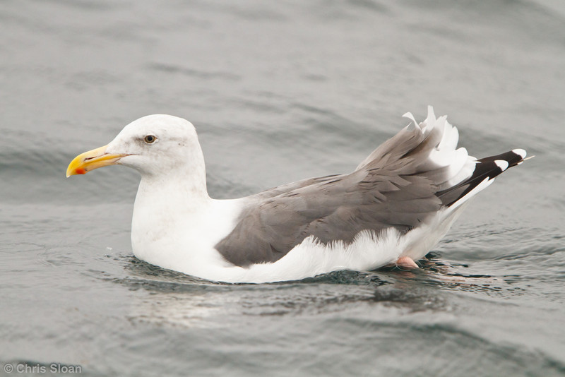 Western Gull adult at pelagic out of Bodega Bay, CA (10-15-2011) - 947.jpg