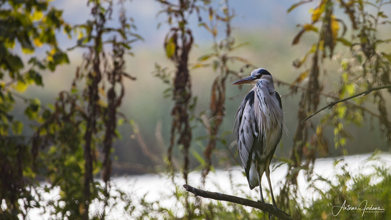 Grey Heron in Biesbosch