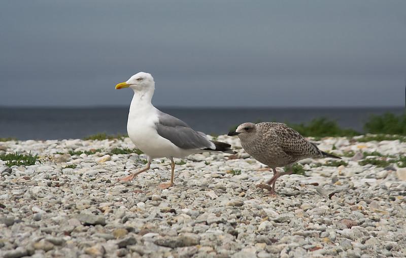 Gotland 20110608_0066.jpg