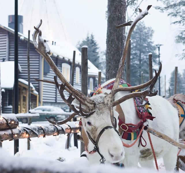 Reindeer at the Arctic Circle